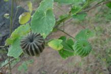Fruit-of-Indian-Mallow