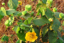 Indian-Mallow--Plant