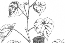 Sketct-of-Indian-Mallow