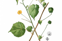 Plant-Illustration-of-Indian-Mallow