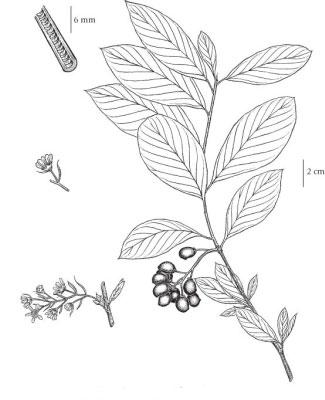 Sketch-of-Indian-Plum