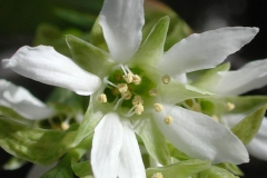 Closer-view-of-flower-of-Indian-Plum