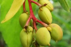Immature-fruits-of-Indian-Plum