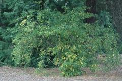 Indian-Plum-tree