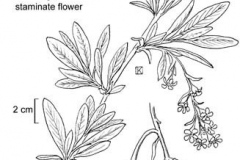 Plant-illustration-of-Indian-Plum