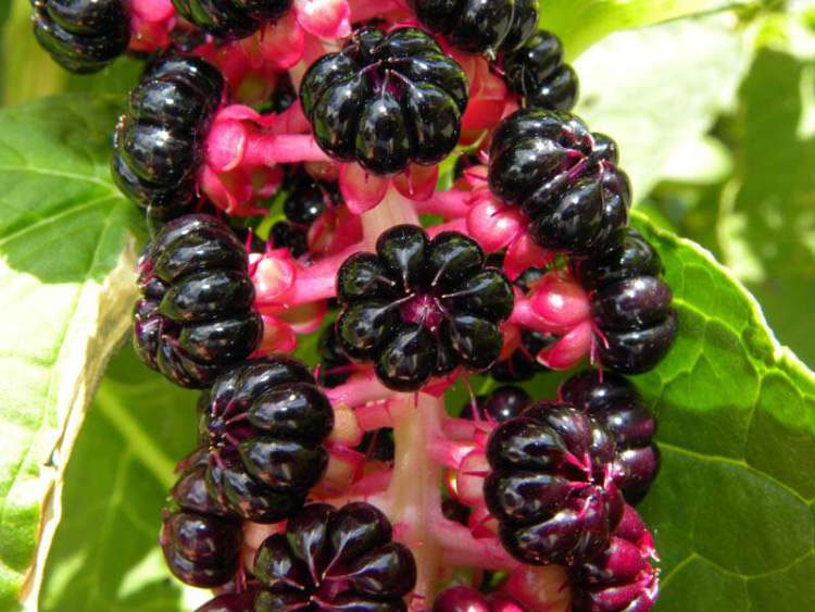 Closer-view-of-Fruits-of-Indian-Poke plant