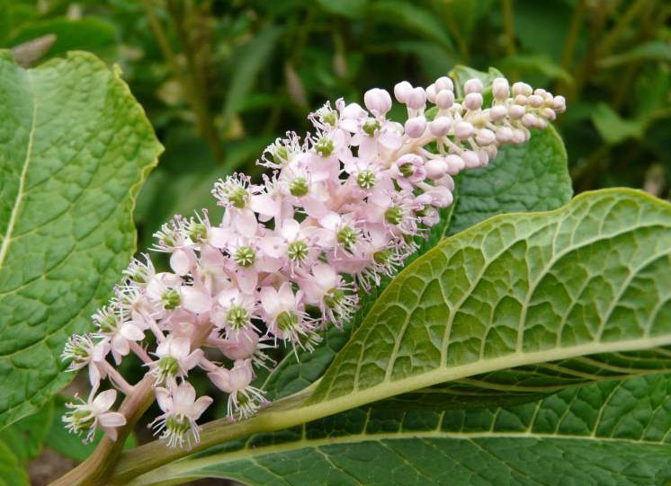 Flowers-of-Indian-Poke plant