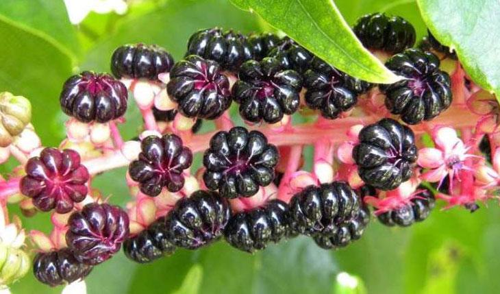 Fruits-of-Indian-Poke plant