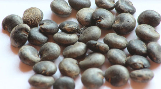 Seeds-of-Indian-Poke plant