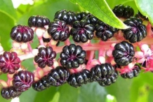 Fruits-of-Indian-Poke plant