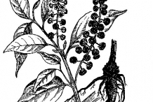 Sketch-of-Indian-Poke-plant
