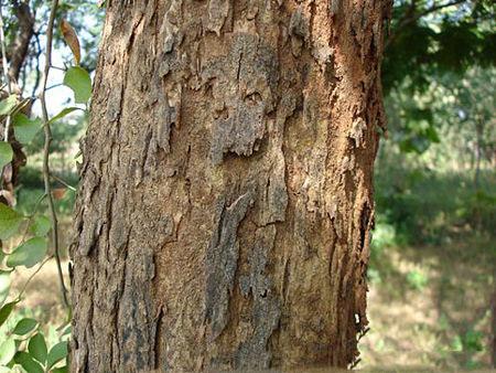 Bark-of-Indian-rosewood