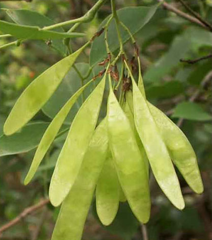 Immature-fruits-of-Indian-rosewood