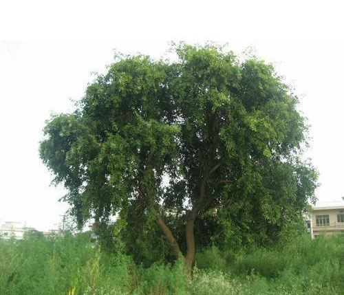Indian-rosewood-Tree