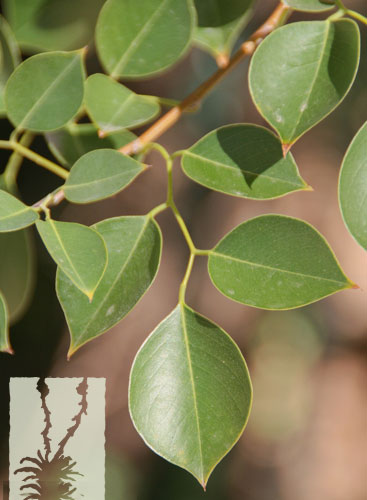 Leaves-of-Indian-rosewood