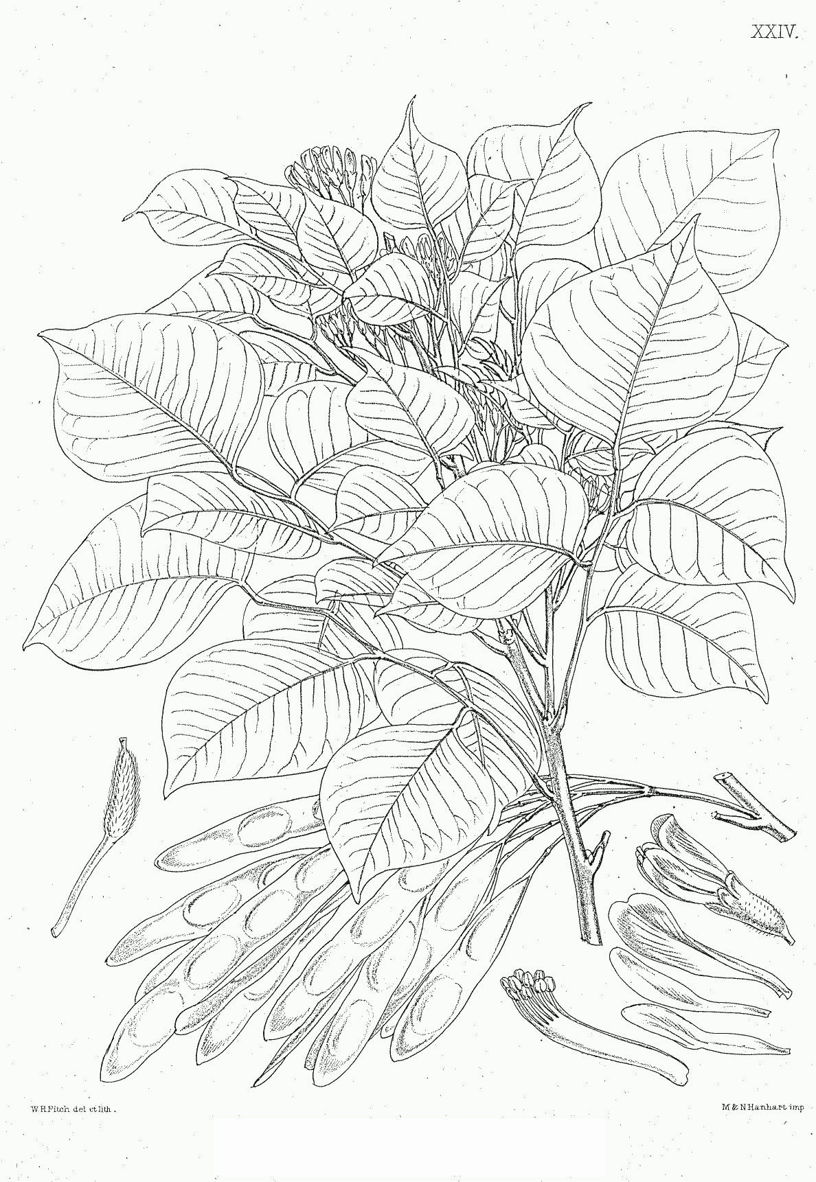 Plant-Illustration-of-Indian-rosewood