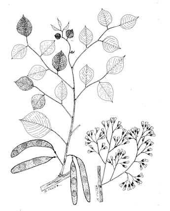 Sketch-of-Indian-rosewood