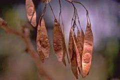 Mature-fruits-of-Indian-rosewood