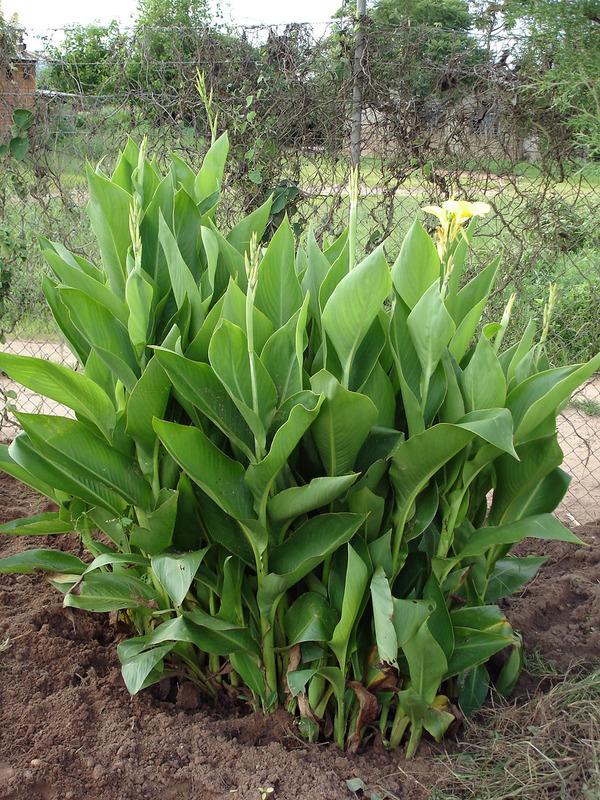 Indian-shot-plant