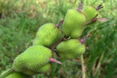 Immature-fruits-of-Indian-shot