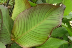 Leaves-of-Indian-shot