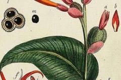 Plant-Illustration-of-Indian-shot