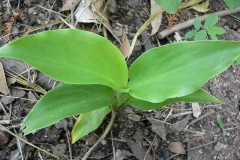 Small-Indian-shot-plant