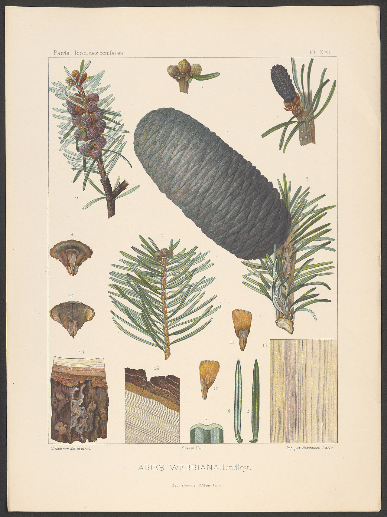 Illustration-of-Indian-Silver-fir