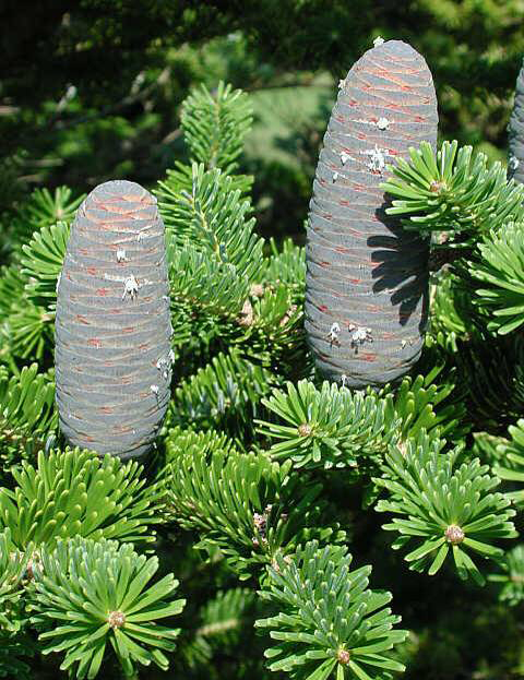 Indian-silver-fir-fruit