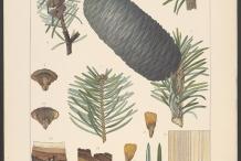 Illustration-of-Indian-Silver-fir