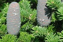 Indian-silver-fir-fruit