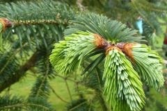 Indian-silver-fir-leaves