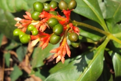 Unripe-fruit