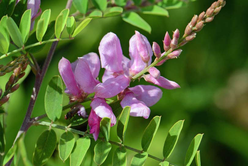 Flower-of-Indigo