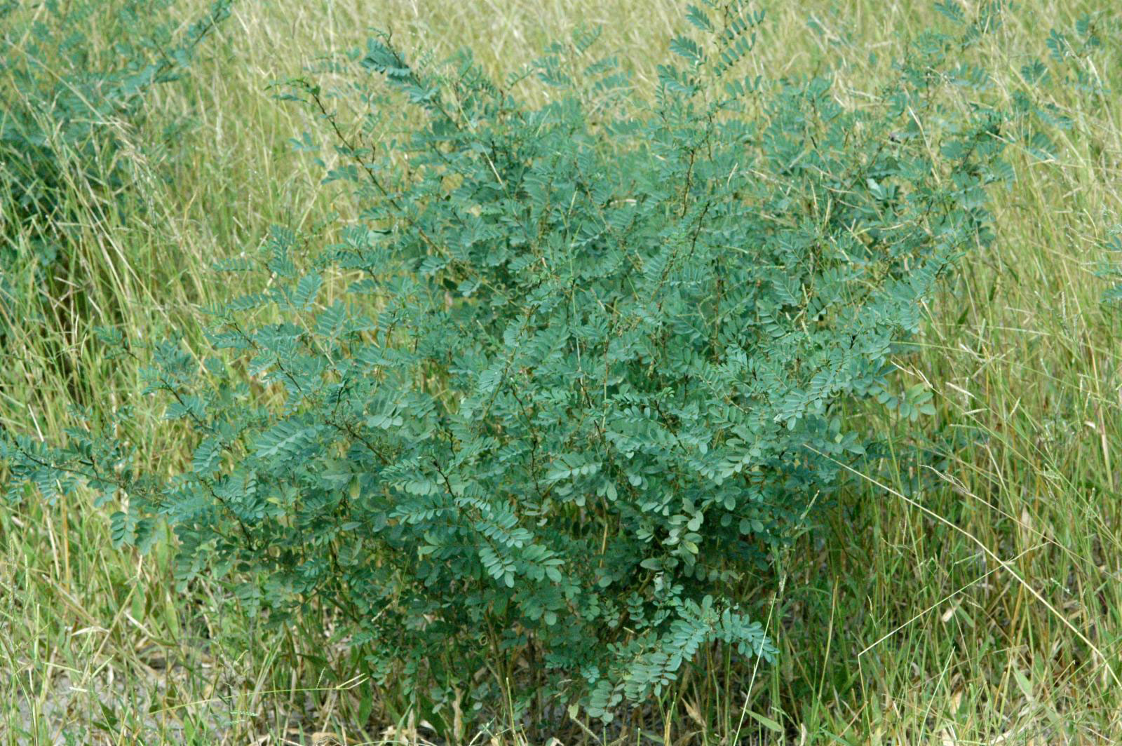 Indigo-plant-growing-wild