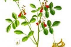 Plant-Illustration-of-Indigo