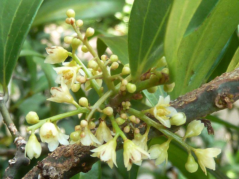 Flowers-of-Indonesian-Cinnamon
