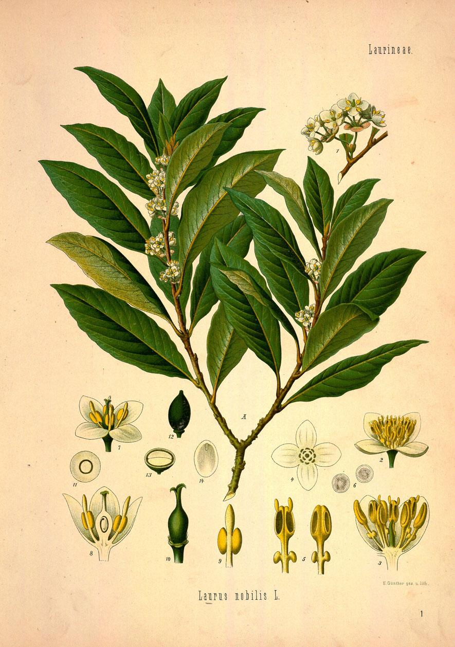 Plant-Illustration of-Indonesian-Cinnamon