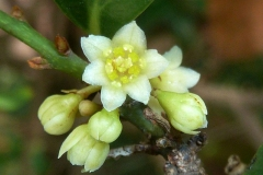 Closer-view-of-flower-of-Indonesian-Cinnamon