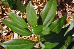Leaves-of-Indonesian-Cinnamon