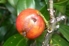 Maturing-fruit-of-Indonesian-Cinnamon