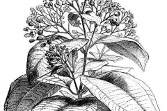Sketch-of-Indonesian-Cinnamon