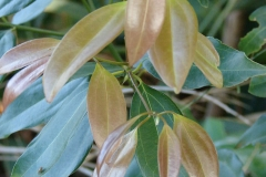 Young-Leaves-of-Indonesian-Cinnamon