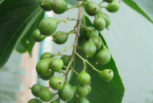 Unripe-fruit-of--Intellect-tree