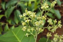 Flower-of--Intellect-tree