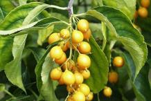 Fruit-of-Intellect-tree