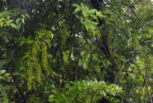 Intellect-tree-growing-wild