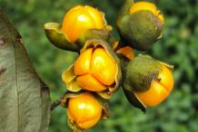 Ripe-Fruit