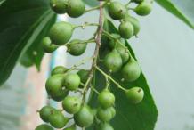 Unripe-fruit-of--Intellect-tree