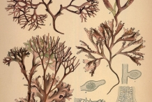 Illustration-of-Irish-moss